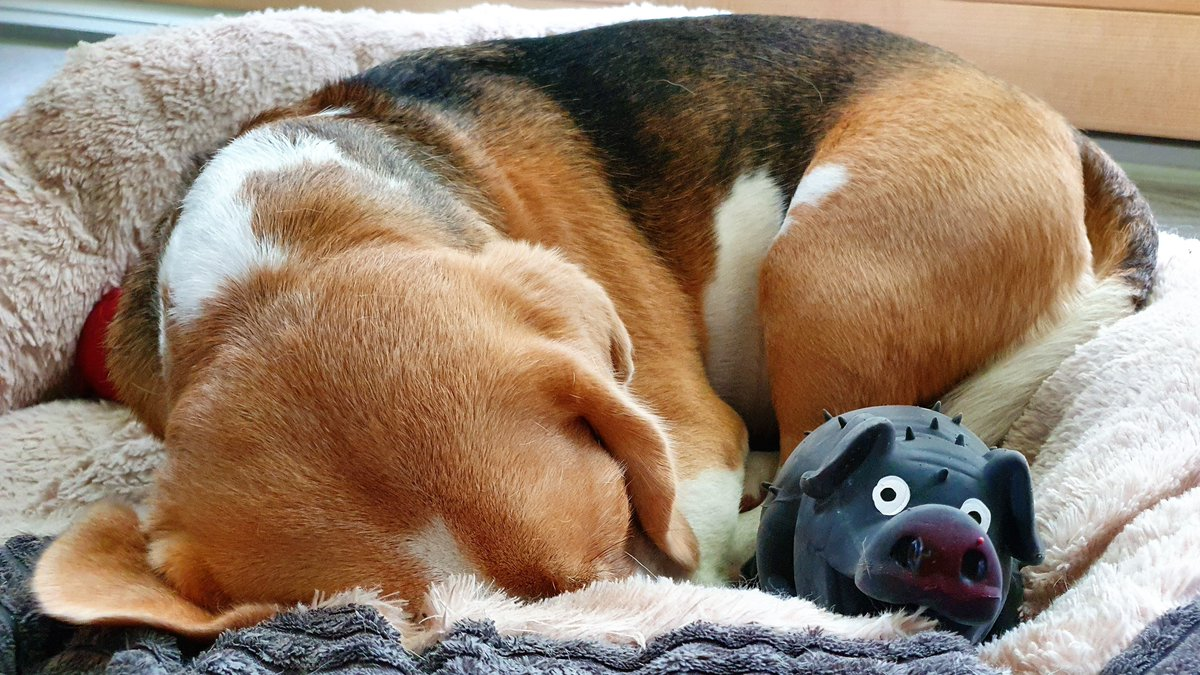 WilmasReview of the week workfromhome buerohund postdog _ZU research on Wilma amp Mr Piggy confirms recent study of Shon treat budget linked to motivation